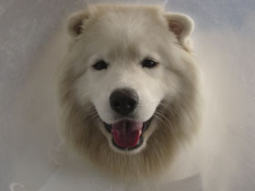 Sydney the Samoyed in her Elizabethan collar